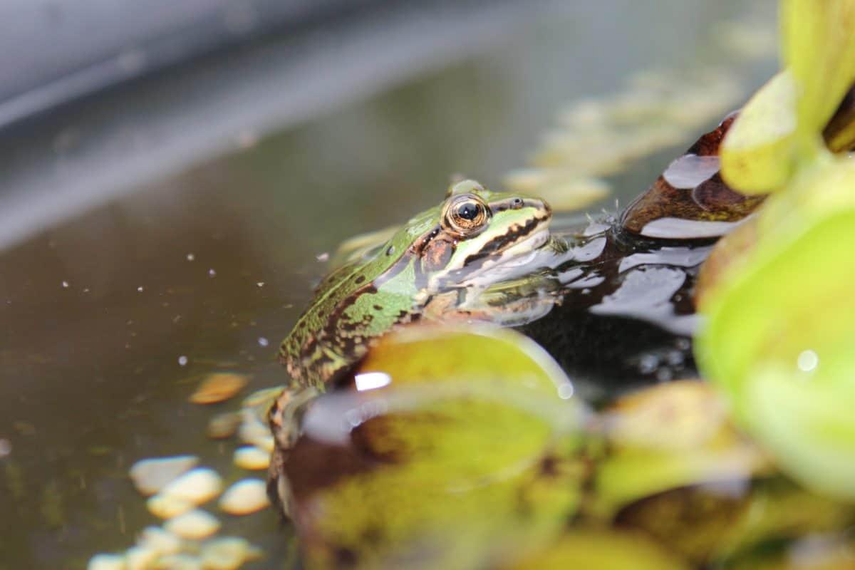 grenouille, eau, nature, amphibiens, forêt tropicale, en plein air