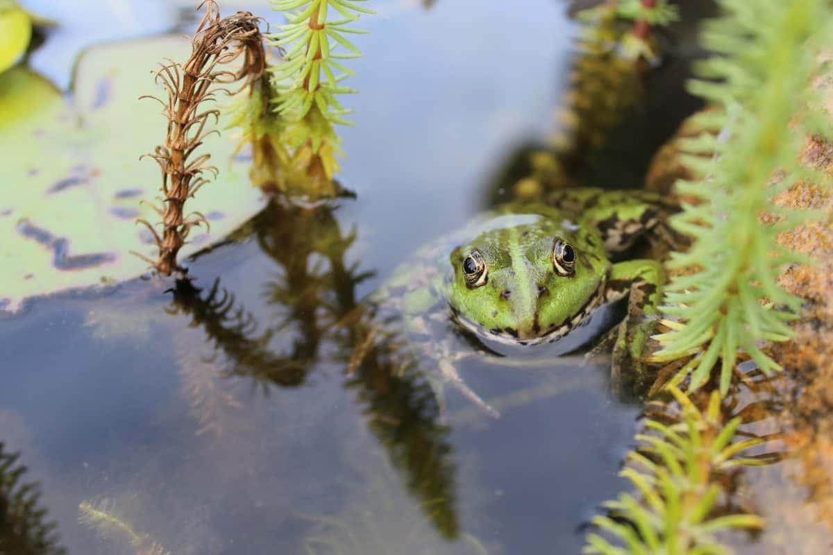 Natur, Wasser, Tageslicht, Frosch, Amphibien, Sumpf