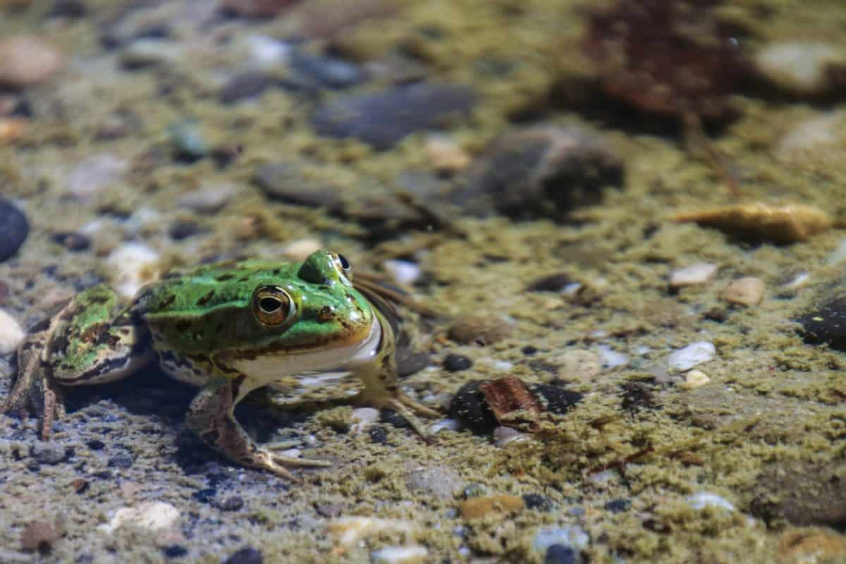nature, amphibian, frog, water, wildlife, eye, ground, animal