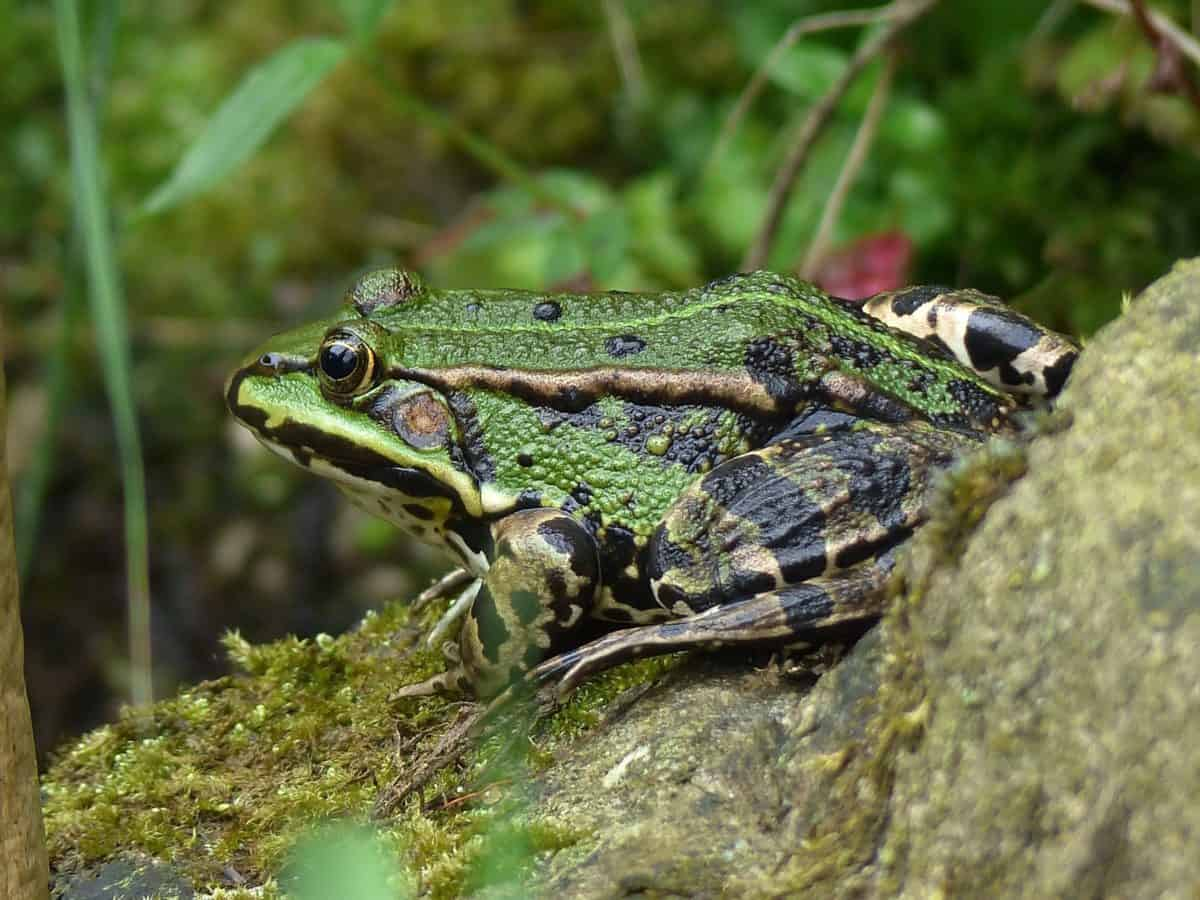 grenouille, la faune, amphibie, animal, nature, mousse en plein air, oeil,