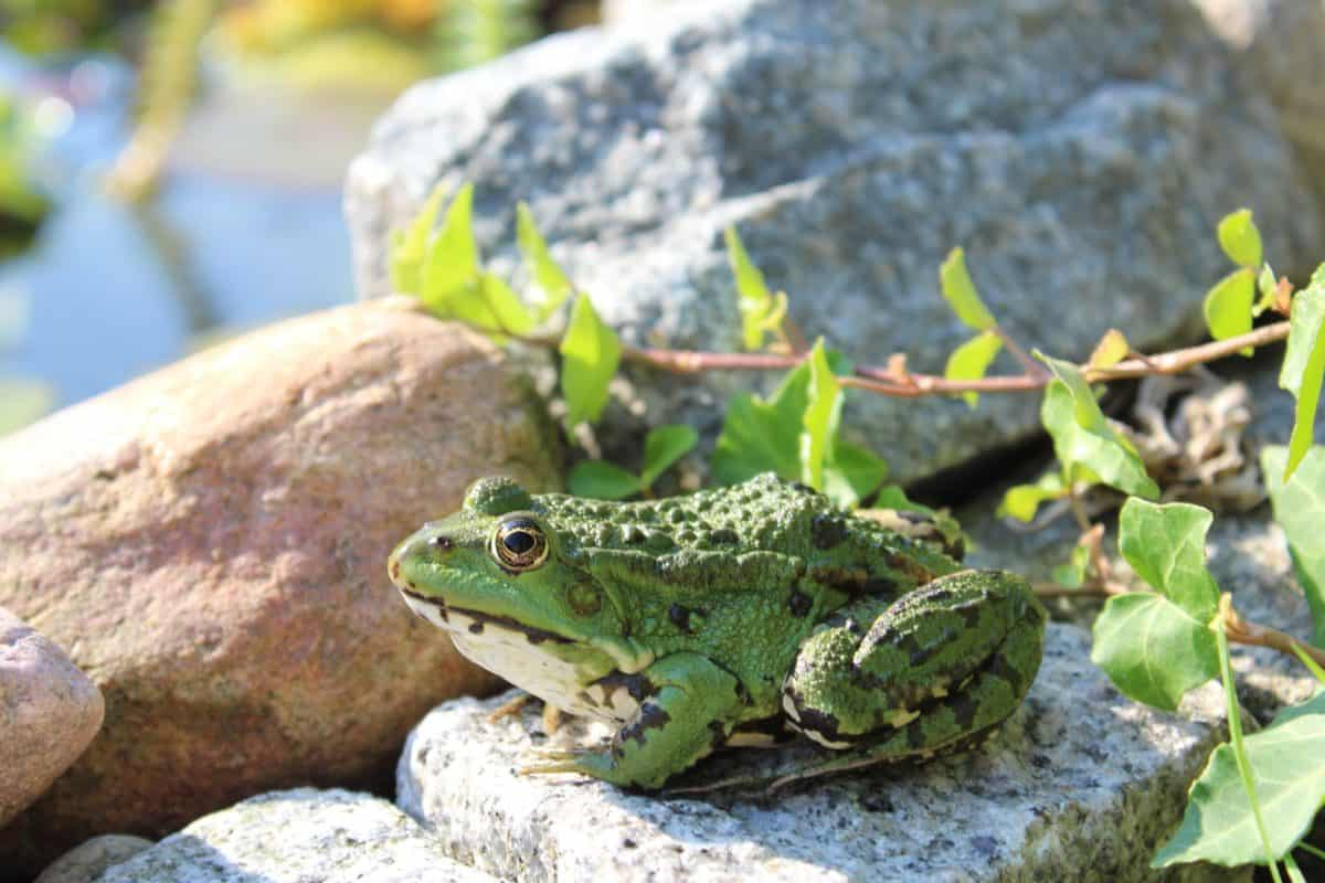wildlife, leaf, animal, amphibian, frog, nature, eye, outdoor