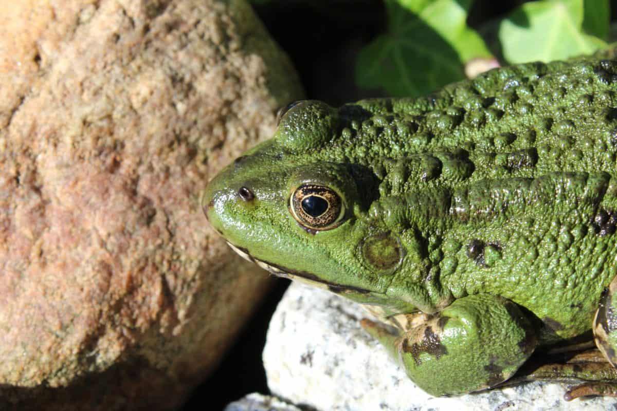Amphibien, Natur, grüner Frosch, Wildtiere, Tageslicht, Auge, Reptil, Tier