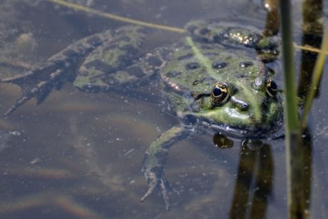amphibian, underwater, green frog, water, lake, swamp