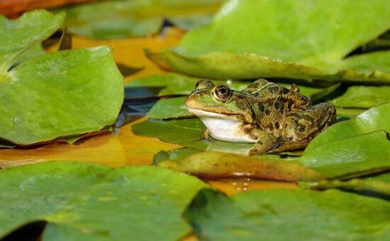 amphibiens, feuille, feuille verte, marais, animaux, reptile, grenouille, eau, oeil