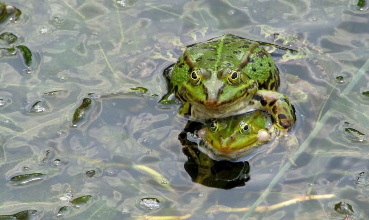 amphibian, nature, green frog, green leaf, swamp, animal, reptile, water