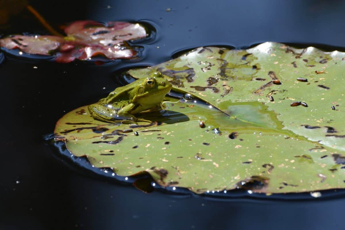 green leaf, swamp, lotus, daylight, animal, reptile
