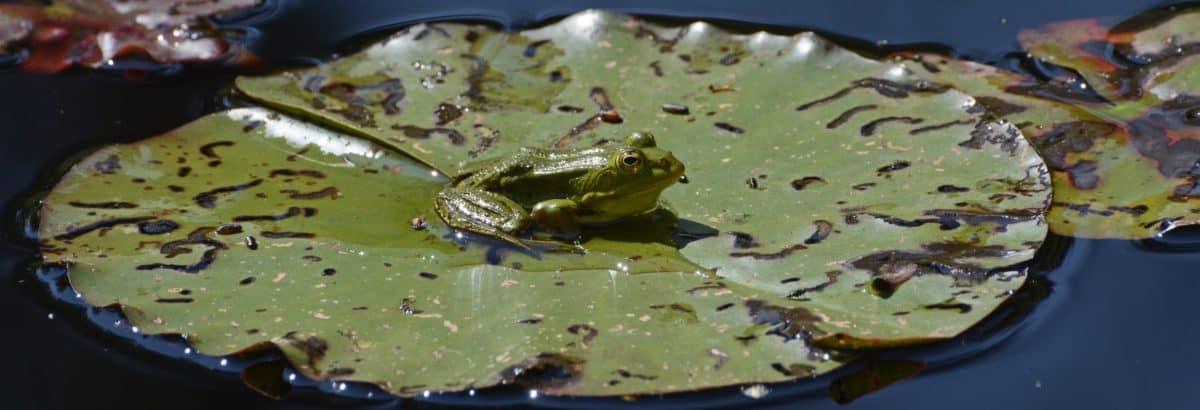 amphibiens, lac, feuille verte, marais, animaux, reptile, l'eau, grenouille