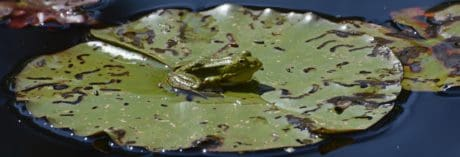amphibian, lake, green leaf, swamp, animal, reptile, water, frog