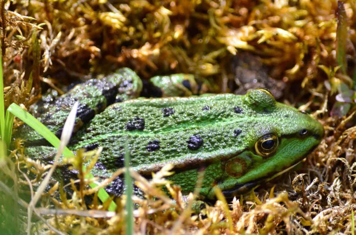 anfibio, luce diurna, rana verde, natura, erba