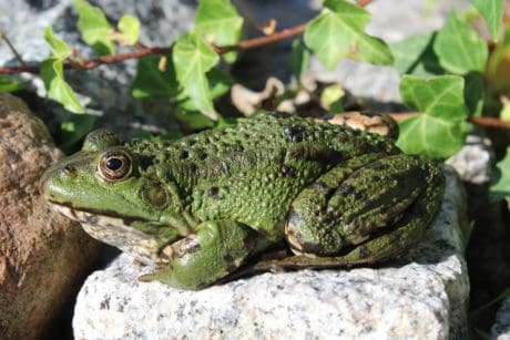 green frog, stone, leaf, amphibian, nature, lizard, reptile, wildlife