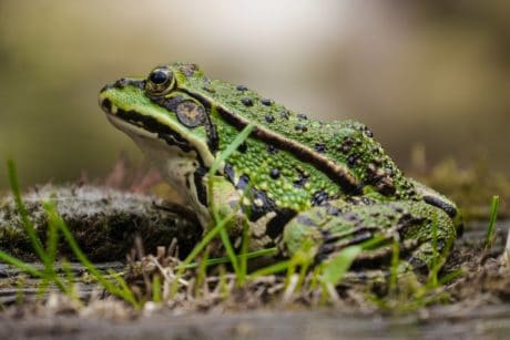 animal, frog, nature, amphibian, wildlife, eye, lizard, reptile