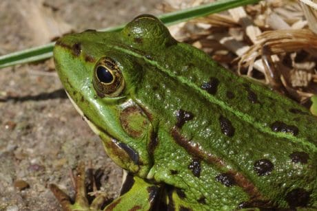 nature, green frog, amphibian, wildlife, eye, animal