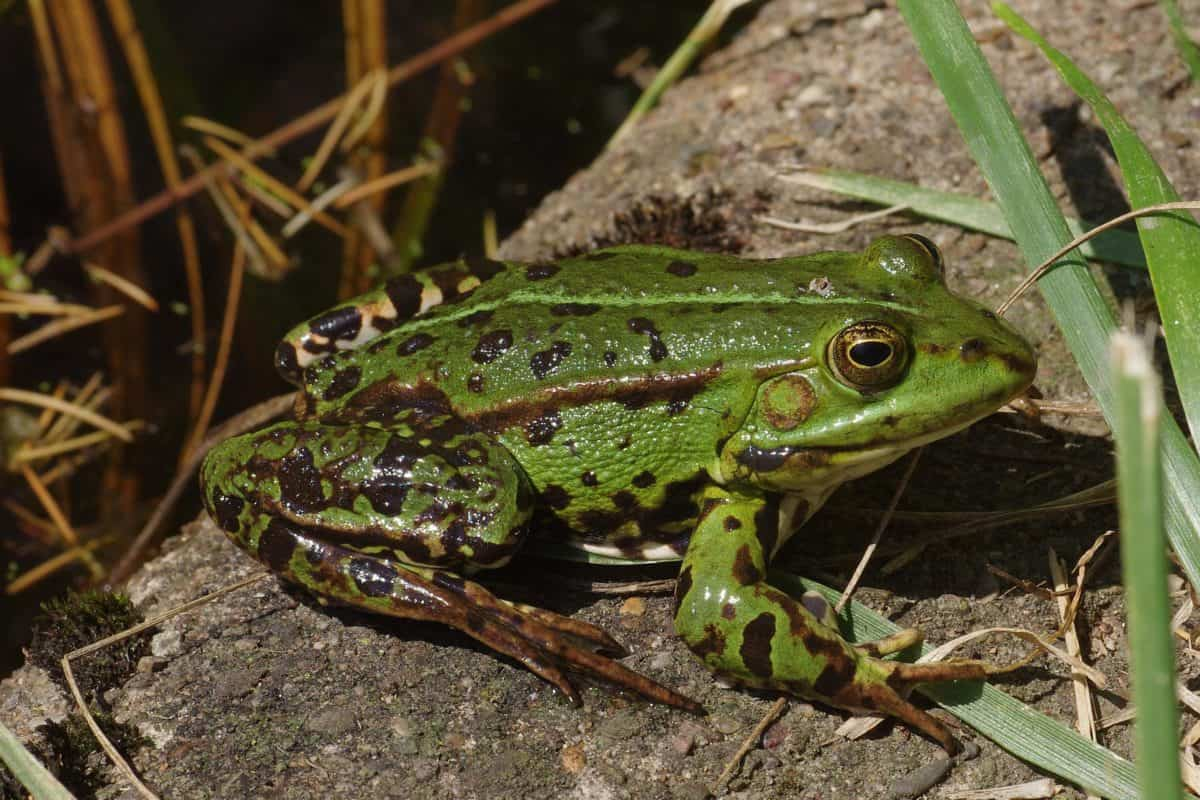 Natur, Frosch, Amphibien, Tierwelt, Auge, Tier, Boden, grün