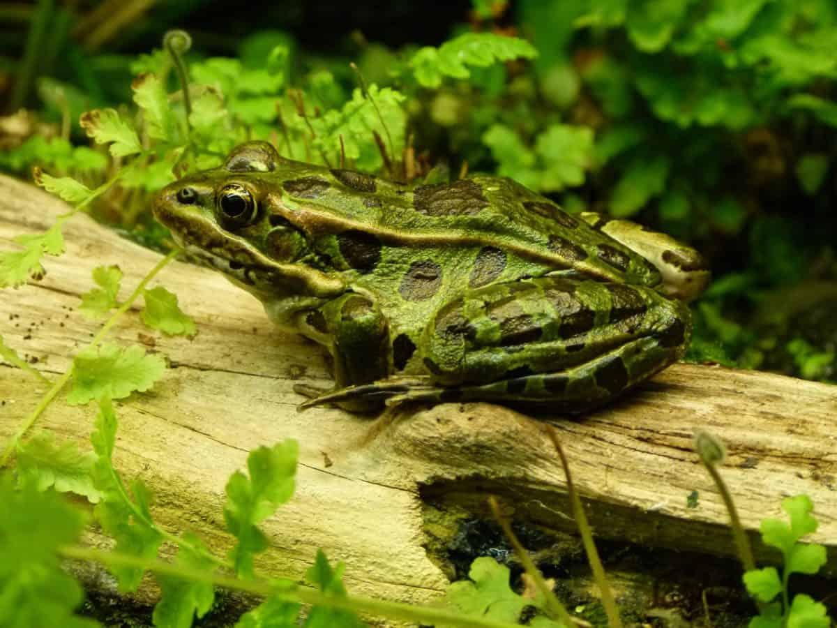 Frosch, Amphibien, Reptilien, Tierwelt, Natur, Auge, Tier, Rasen