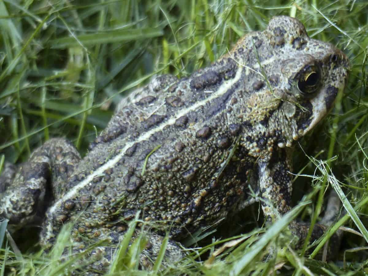 animal, green frog, camouflage, wildlife, amphibian, nature, wild, reptile