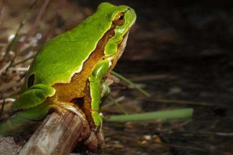 amphibian, camouflage, frog, nature, wildlife, leaf, eye, animal