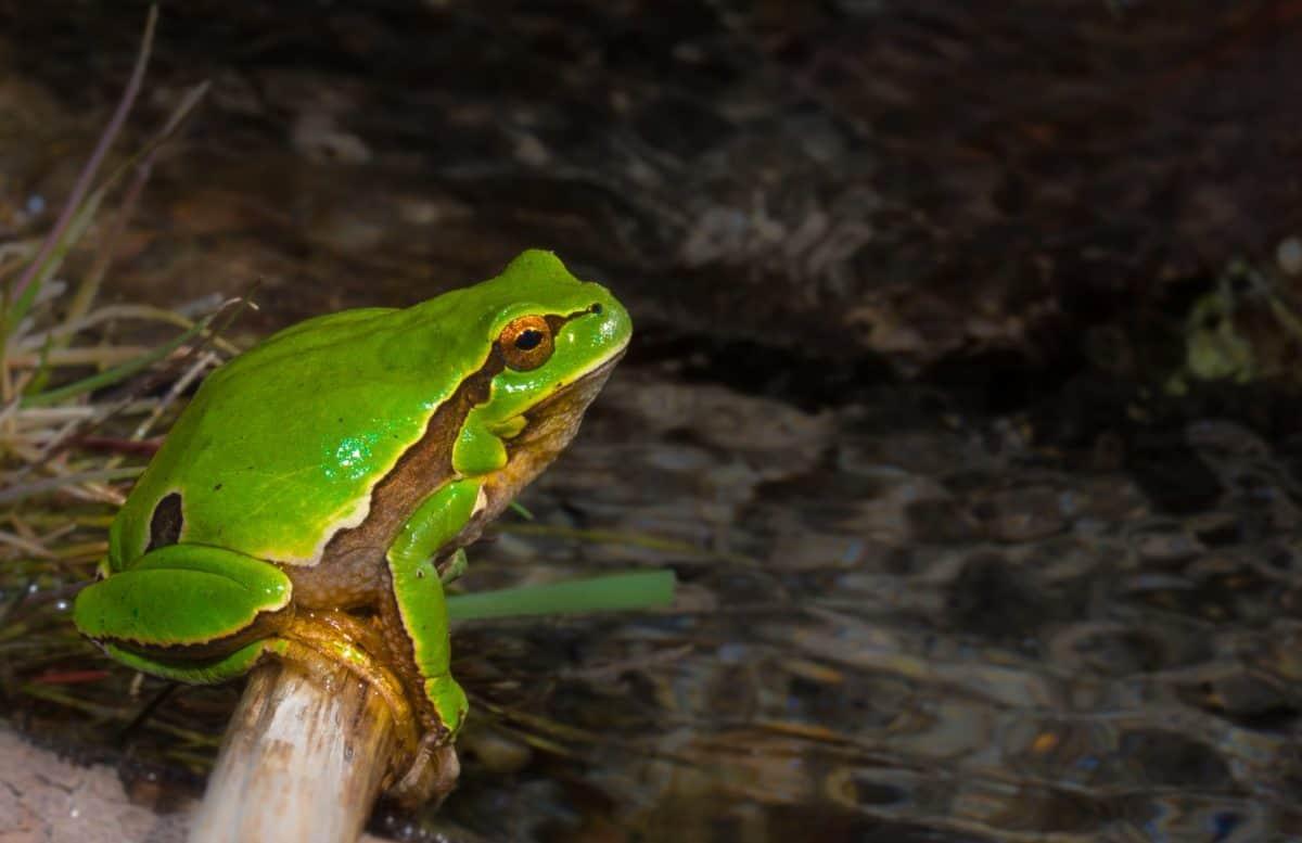 la faune, amphibiens, grenouille, nature, oeil, animal, camouflage
