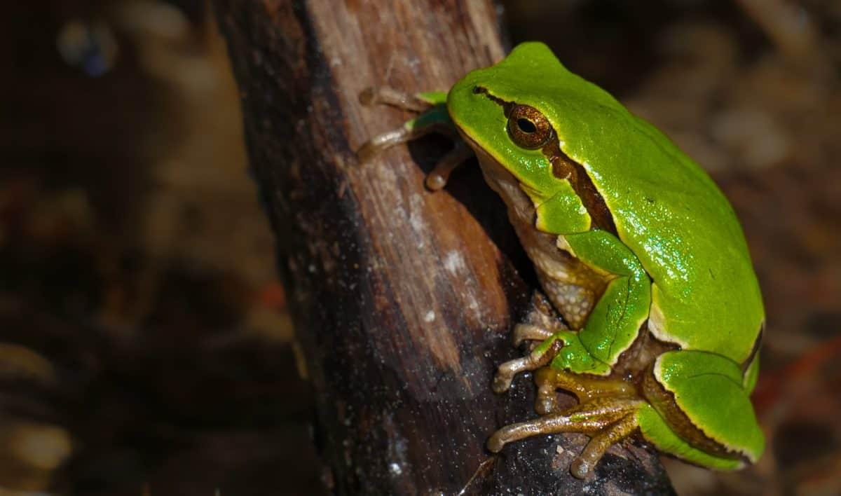 Camouflage, Amphibien, grüner Frosch, Auge, Tierwelt, Tier