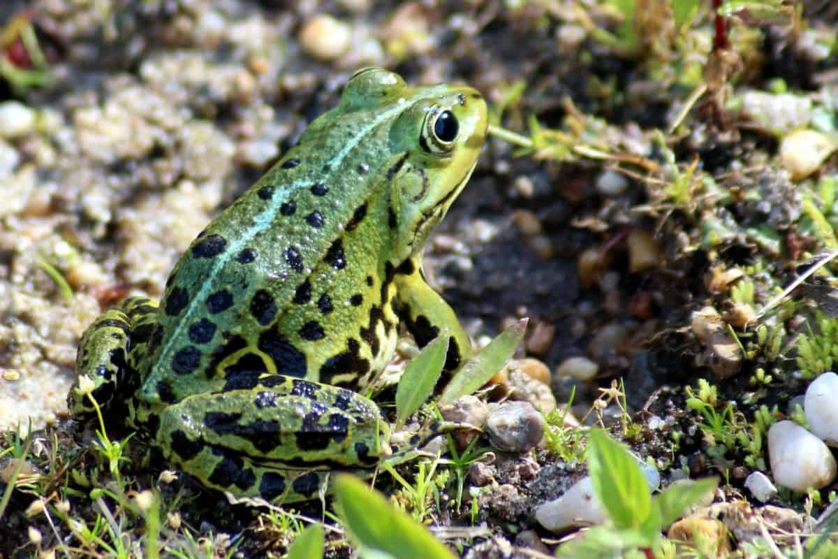 green frog, camouflage, amphibian, nature, eye, wildlife, animal, grass, outdoor