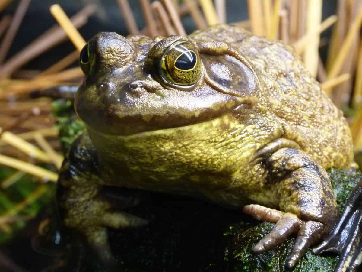 broasca, animal, mlaştină, faunei sălbatice, amfibieni, camuflaj, reptilă, natura