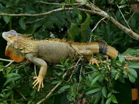 wildlife, animal, camouflage, lizard, nature, reptile, tree