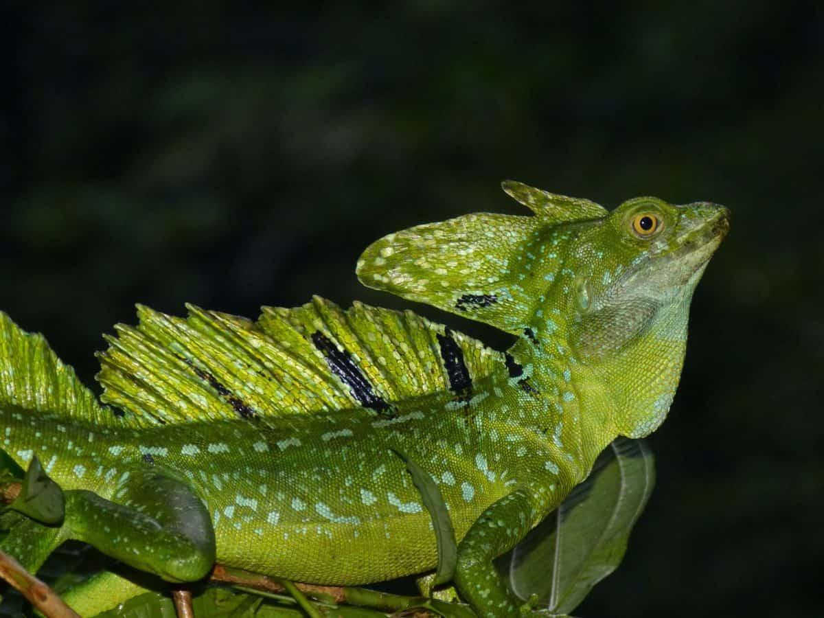 chameleon, camouflage, dark, night, wildlife, reptile, rainforest, lizard, nature
