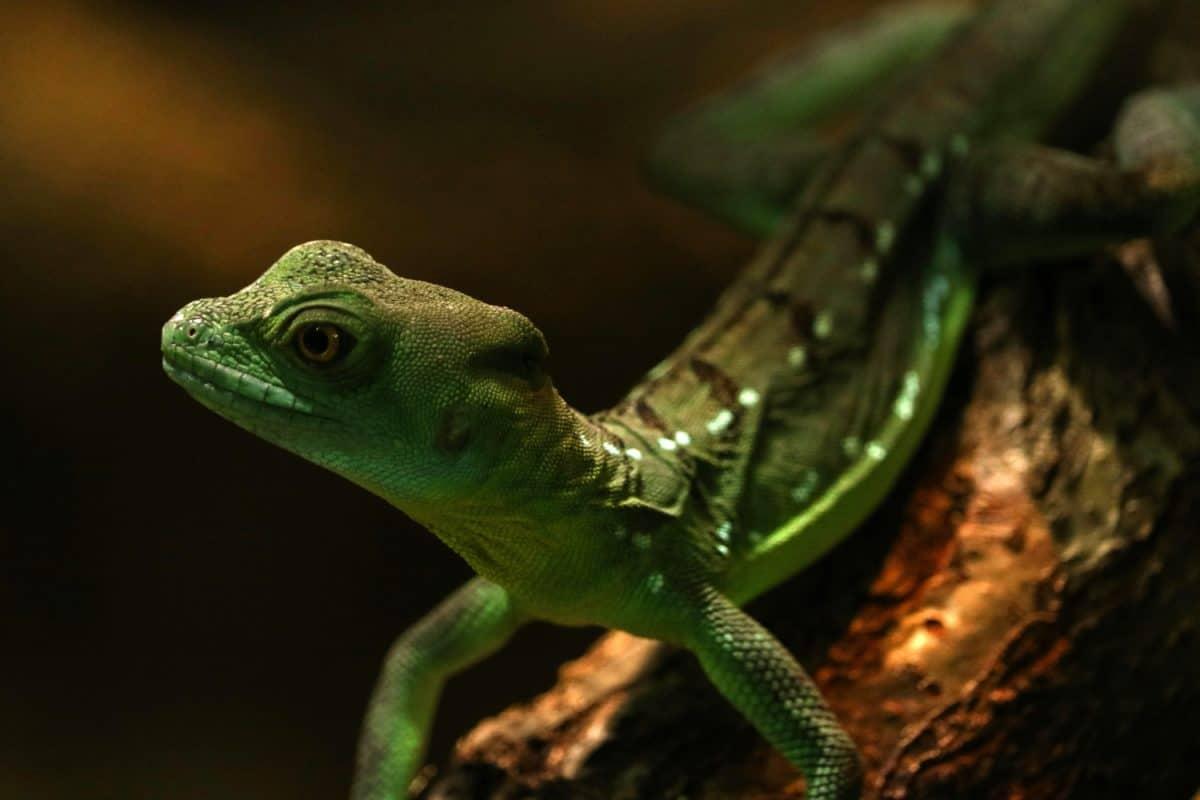 Reptilien, Wildtiere, Eidechse, Auge, Tarnung, Schatten, Leguan, Drachen, Chamäleon