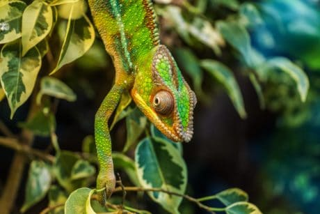 nature, reptile, chameleon, camouflage, lizard, rainforest, wildlife