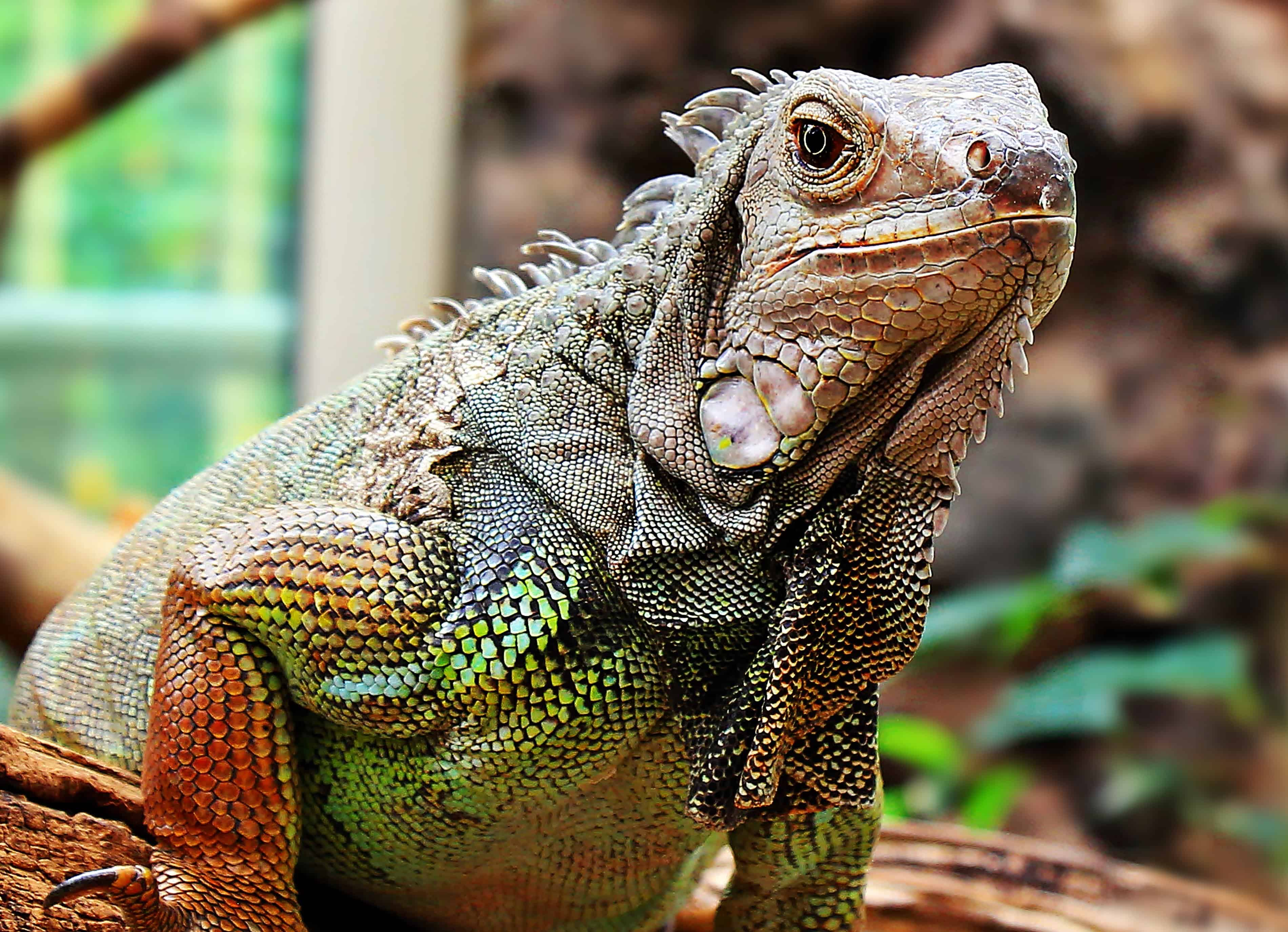 iguana lizard animal dragon reptile wild wildlife nature reptiles animals lizards jooinn