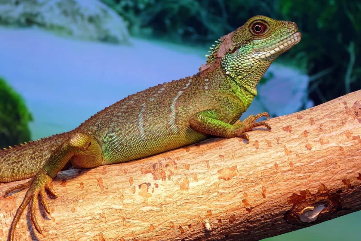 naturaleza, camuflaje, camaleón, reptil, lagarto, vida silvestre, dragon, iguana