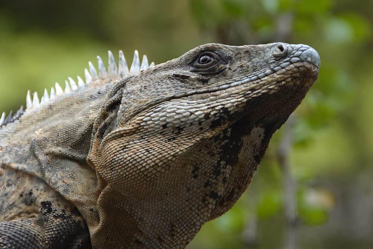 animal, wildlife, nature, reptile, lizard, wild, eye, outdoor