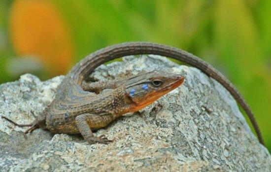 Reptil, Tarnung, Stein, Tageslicht, Eidechse, Natur, Tiere, Wild, Tier