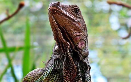 firben, krybdyr, dyreliv, camouflage, natur, dyr, iguana, dragon