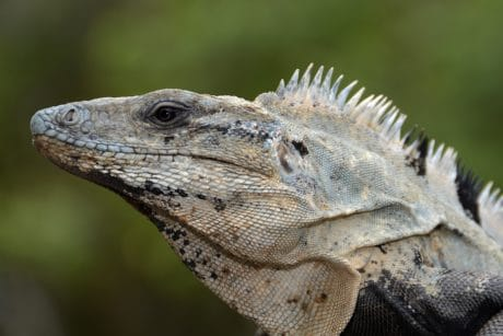 reptile, wildlife, nature, lizard, animal, wild, iguana, eye