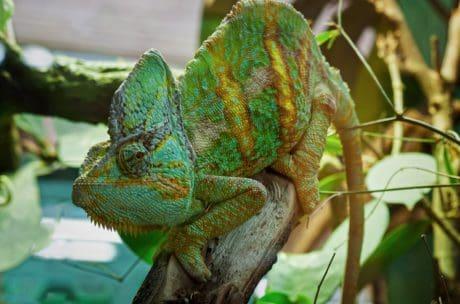 Camaleón, camuflaje, Trópico, árbol, animal, lagarto, naturaleza, fauna, reptiles