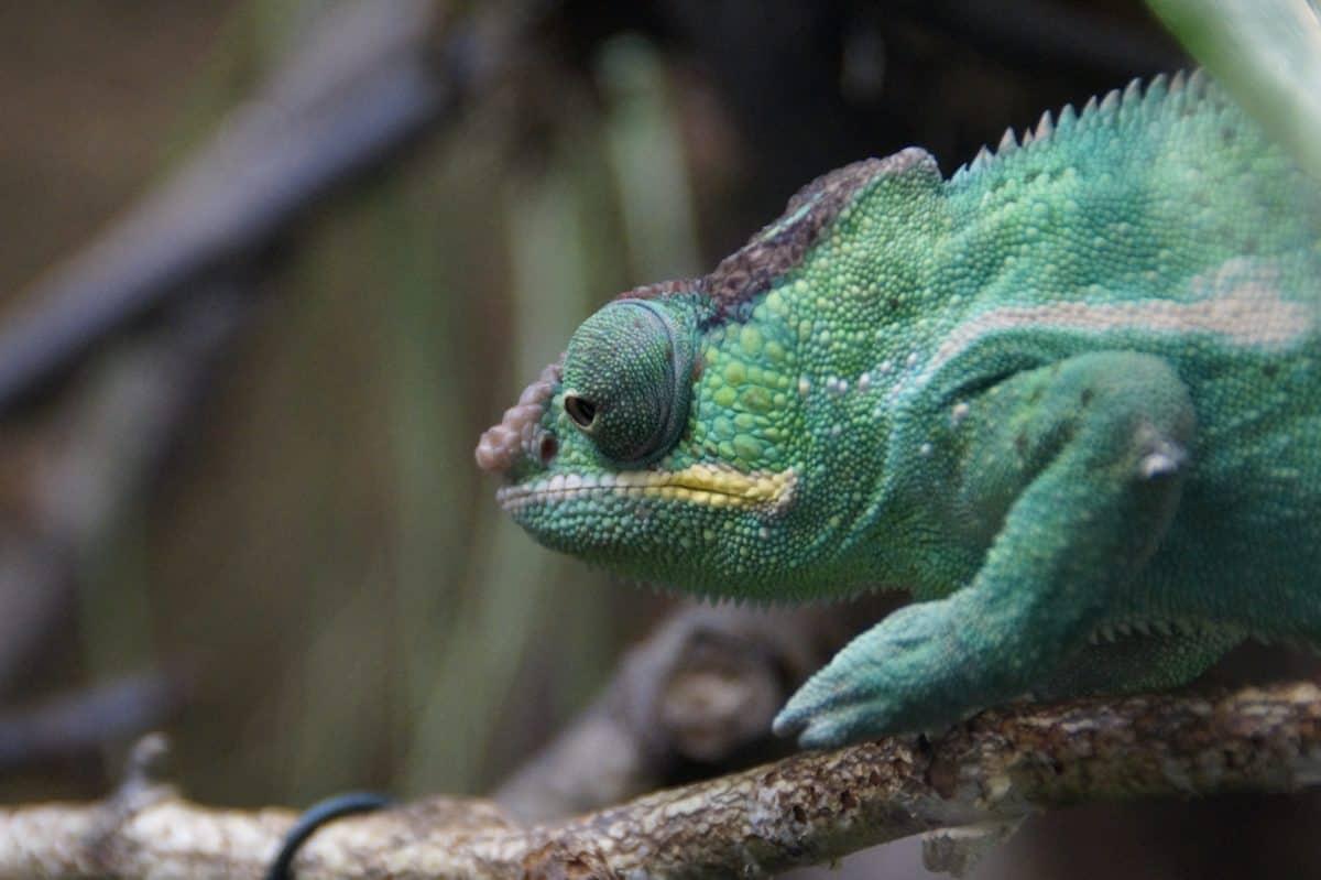 natura, lucertola, fauna selvatica, camuffamento, rettile, animali, camaleonte, persona