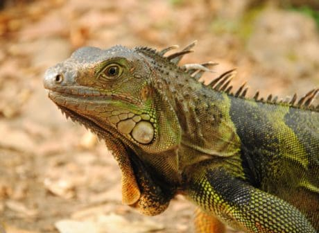 selvaggio, spike, vertebrato, animale, camuffamento, rettile, natura, lucertola, della fauna selvatica