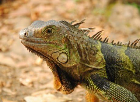 salvaje, spike, vertebrado, animal, camuflaje, reptil, naturaleza, lagarto, vida silvestre