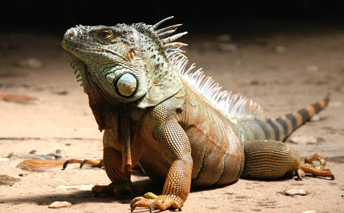 lézard, reptile, sauvage, nature, animaux, faune, sol