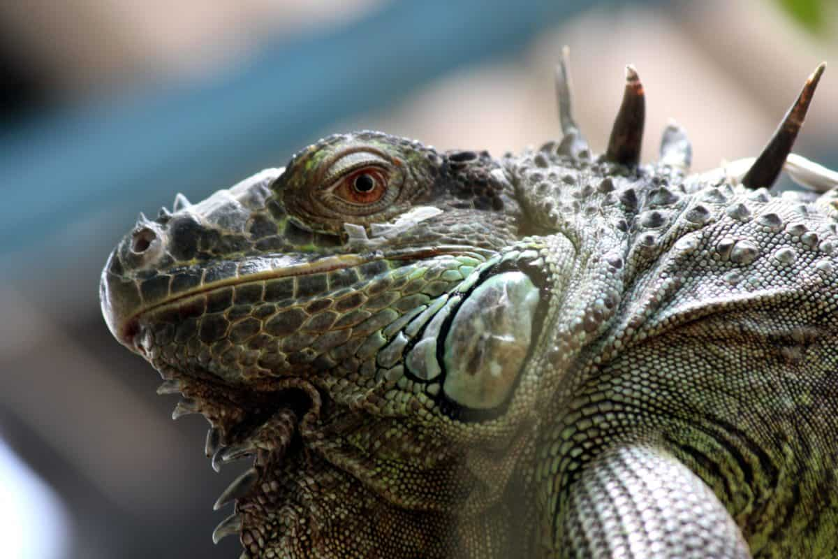reptile, nature, camouflage, animal, lizard, wildlife, eye, iguana, dragon