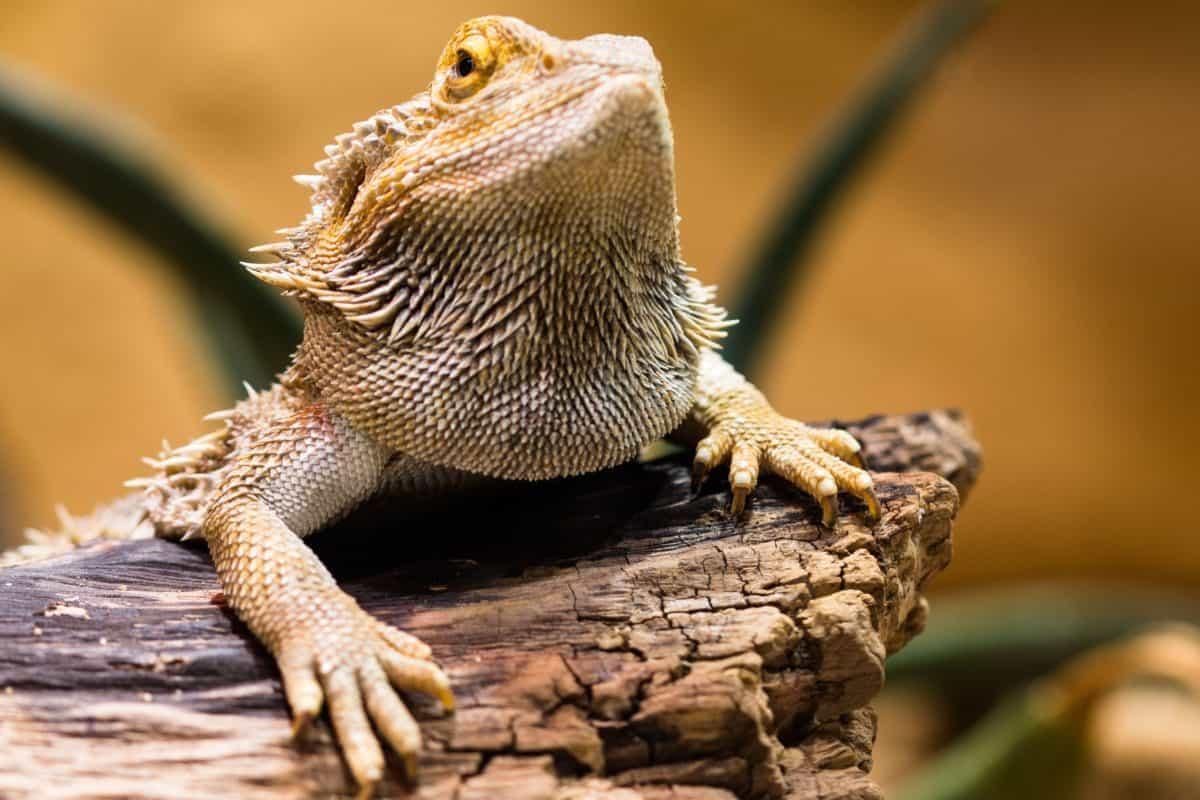 animale, lucertola, camuffamento, fauna, natura, rettile, iguana, drago