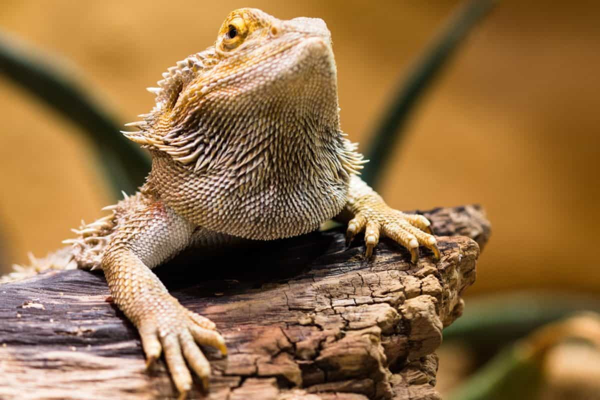animal, lagarto, camuflaje, fauna, naturaleza, reptil, iguana, dragón