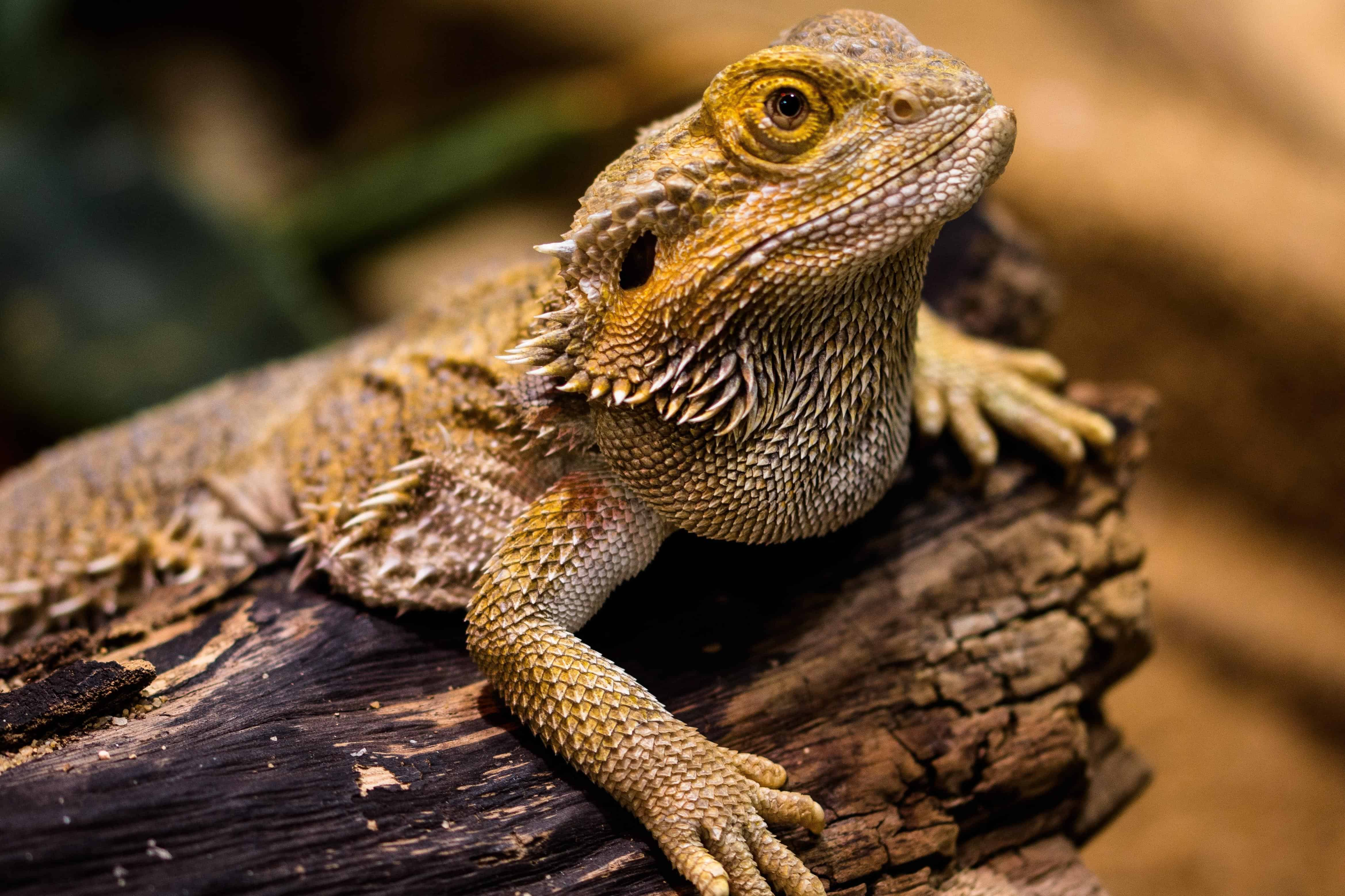 Free Picture Wildlife Wild Reptile Nature Lizard Animal Iguana Dragon