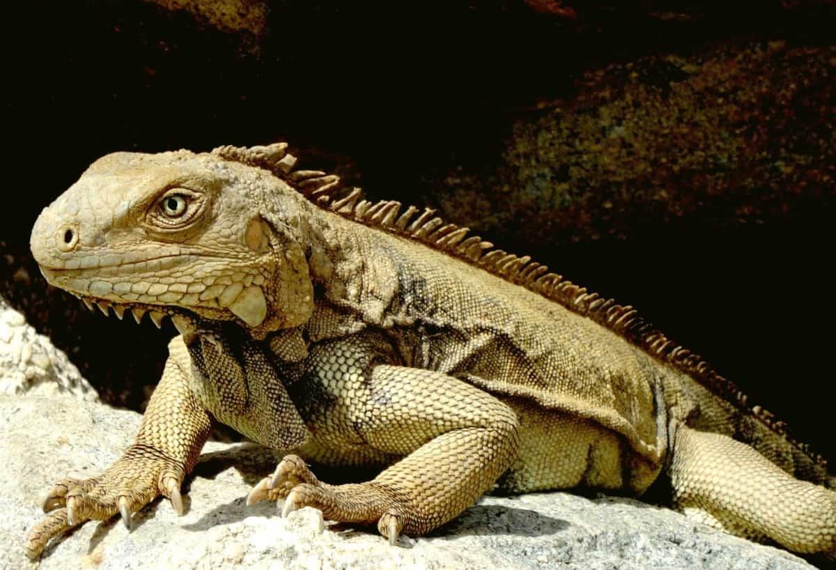 lucertola, vertebrato, camuffamento, animale, natura, fauna, rettile, iguana