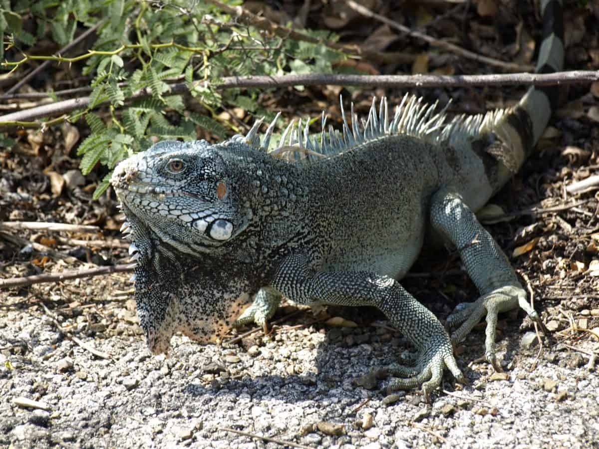 wild, animal, lizard, wildlife, reptile, nature, iguana, dragon