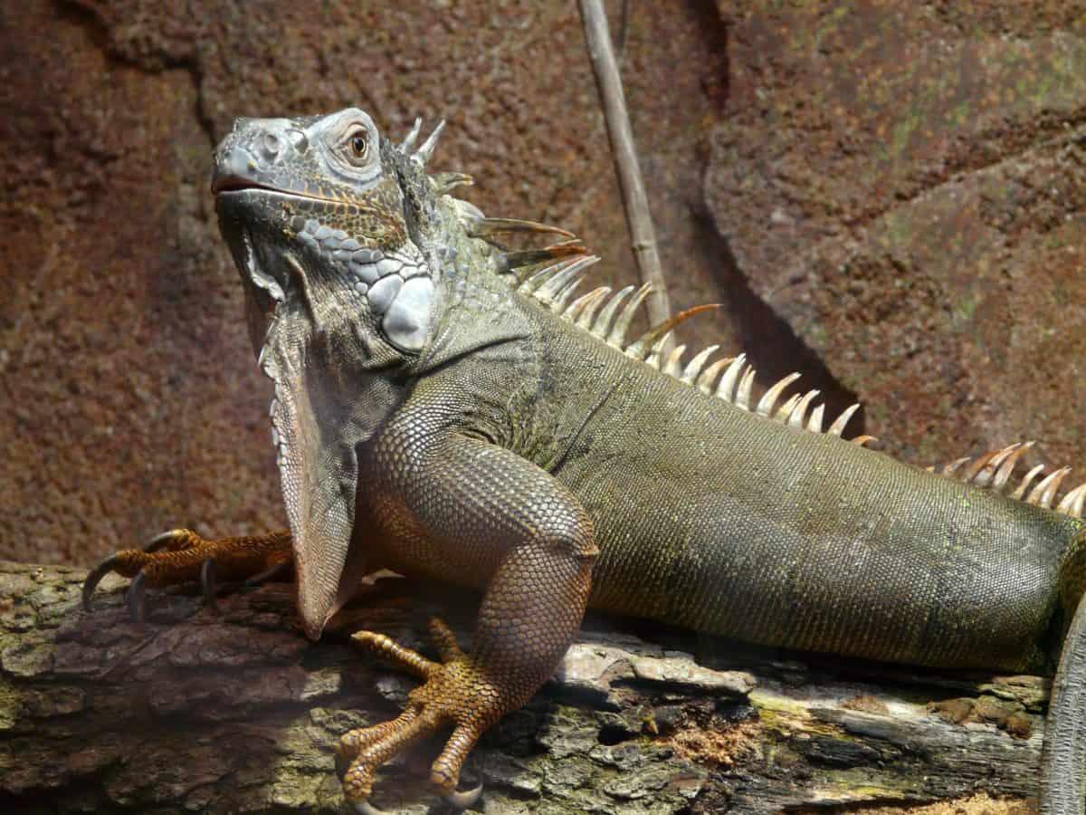 reptil, ödla, djurliv, dragon, kamouflage, iguana, öga, djur, mark