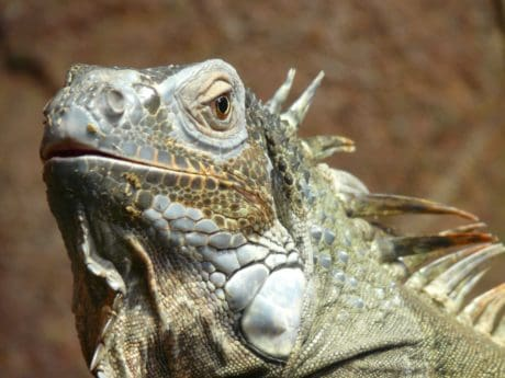 nature, lizard, wildlife, animal, reptile, iguana, dragon
