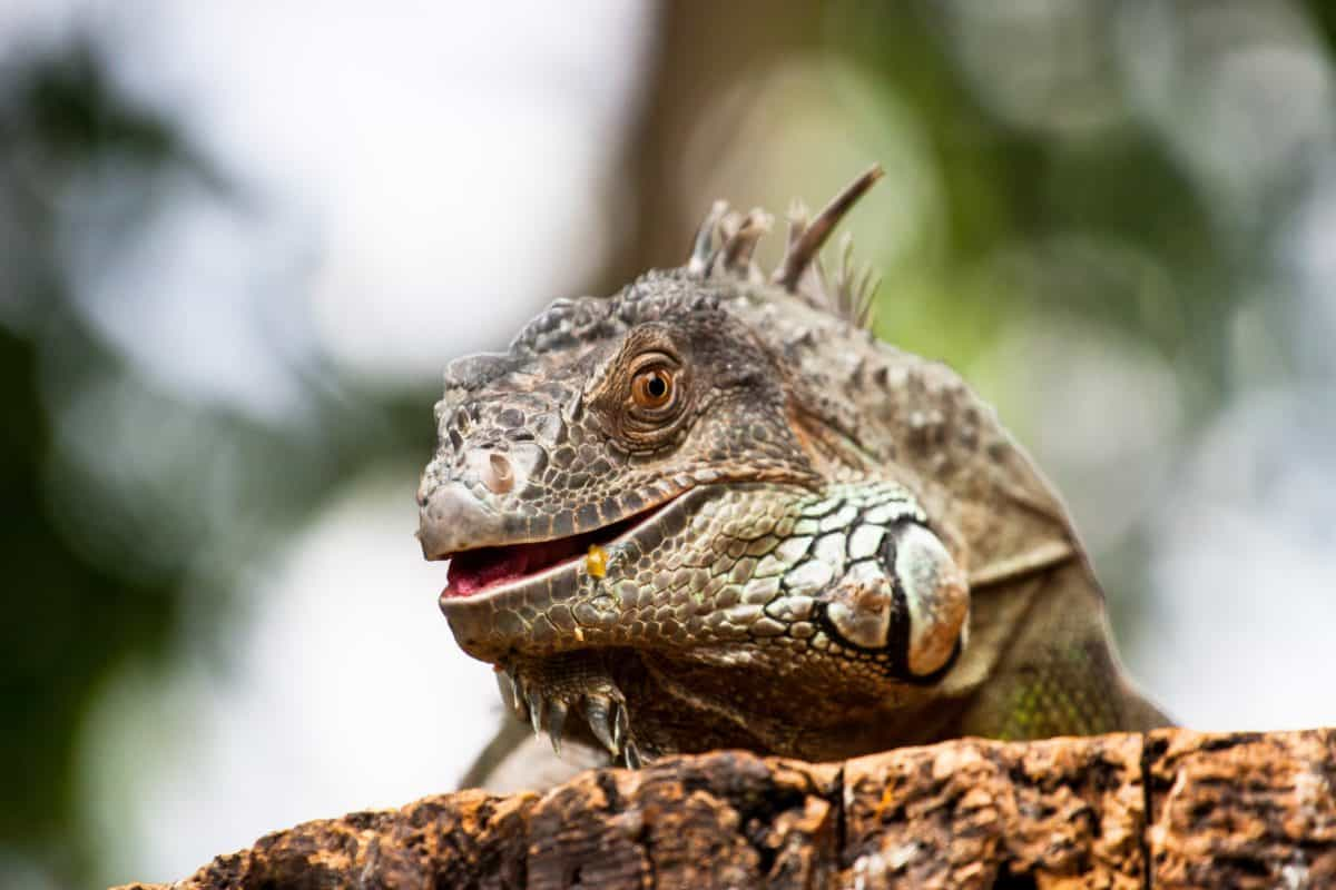 naturaleza, fauna, animal, reptil, lagarto, iguana, salvaje, ojo