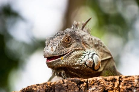 nature, wildlife, animal, reptile, lizard, iguana, wild, eye