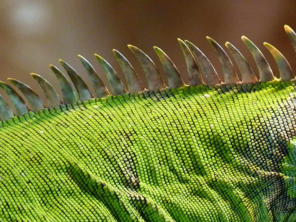 camuflaje, macro, piel, lagarto verde